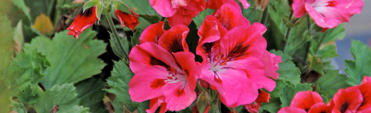 Best-Time-to-Replant-Cuttings-from-Geraniums-THUMB.jpg