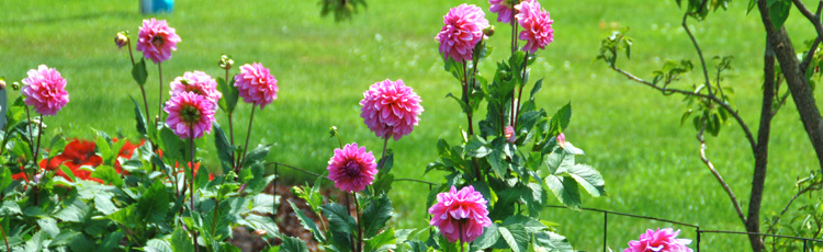 040517_Add_Dahlias_to_your_Garden_Designs.jpg