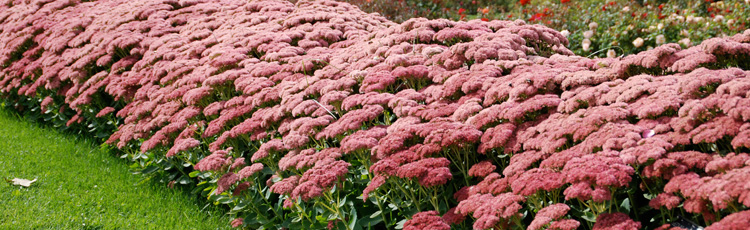 051414_Preventing_Floppy_Growth_on_Sedum_Autumn_Joy.jpg