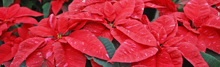 2010_121_MGM_Poinsettia_Care.jpg