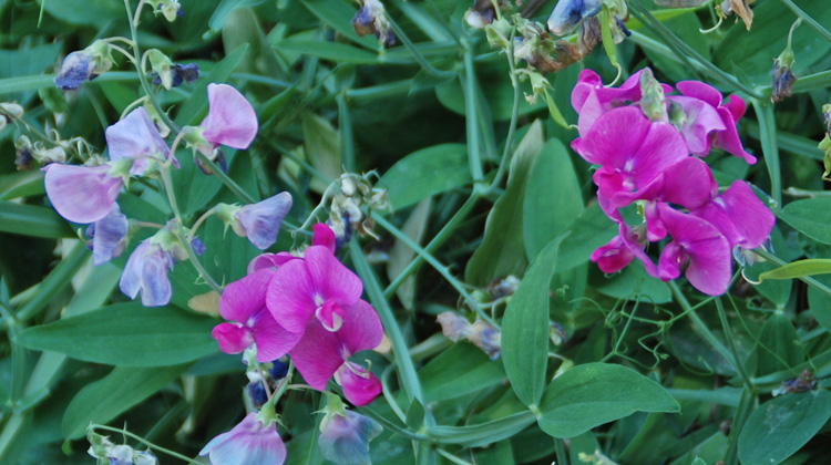 Winter-Care-of-Sweet-Pea-Vine.jpg