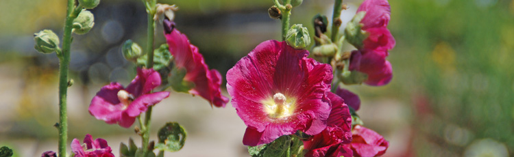 Best-Time-to-Plant-Hollyhock-Seeds-THUMB.jpg