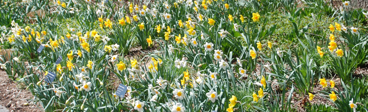 040816_Daffodils_Brighten_the_Spring_Garden.jpg