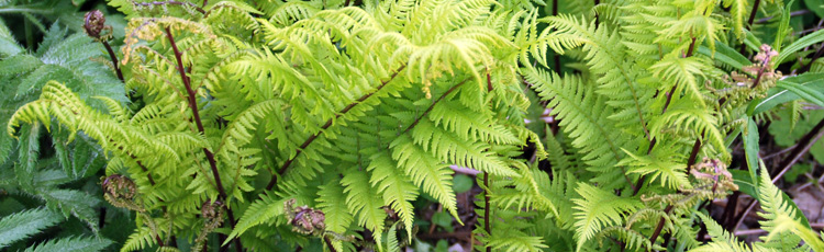 092816_Lady_Ferns_for_Shade_Gardens.jpg