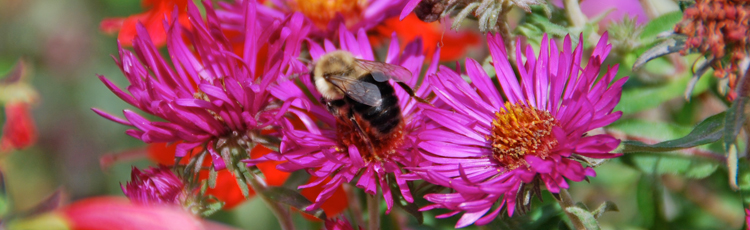 101016_Fall_Blooming_Pollinator_Plant_Alma_Potschke_Aster.jpg