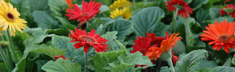 2013_495_MGM_Year_of_the_Gerbera_Daisy.jpg