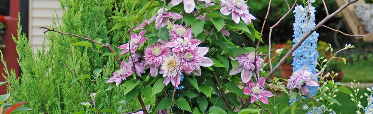 Why-Does-My-Clematis-Bloom-Earlier-than-My-Neighbors.jpg