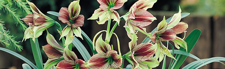 Caring-for-Amaryllis.jpg