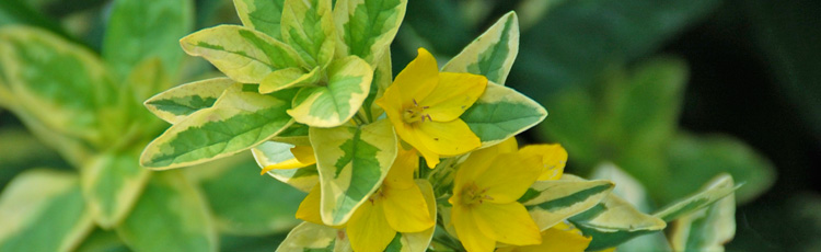 Yellow-Loosestrife.jpg