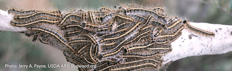 042920_Eastern_Tent_Caterpillar.jpg