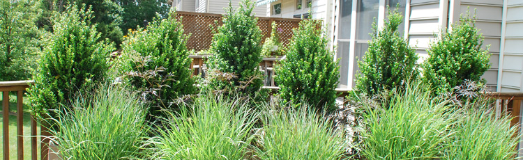 Growing-Arborvitae-in-Containers-THUMB.jpg