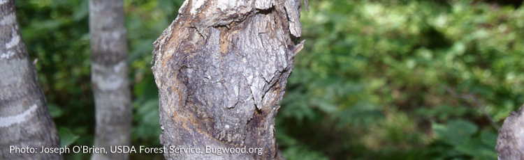 2013_508_MGM_Cankers_Sunken_discolored_areas_on_Trees.jpg