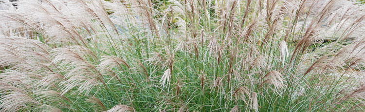 How-Long-Will-it-Take-for-Miscanthus-to-Reach-Mature-Height.jpg