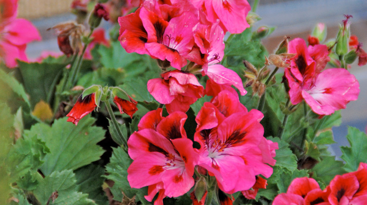 Best-Time-to-Replant-Cuttings-from-Geraniums.jpg
