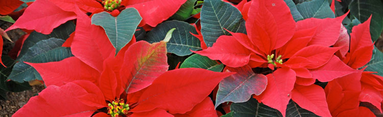 Powdery-Mildew-on-Poinsettia.jpg