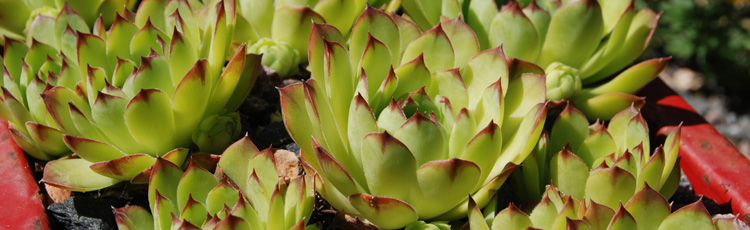 Growing-Hens-and-Chicks-in-Zone-5.jpg