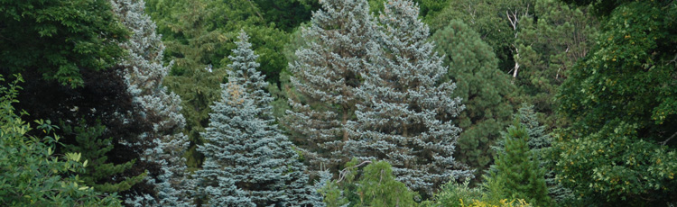 101014_Colorado_Blue_Spruce.jpg