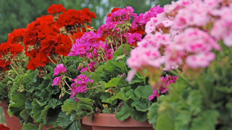 Caring-for-Geraniums-Over-Winter.jpg