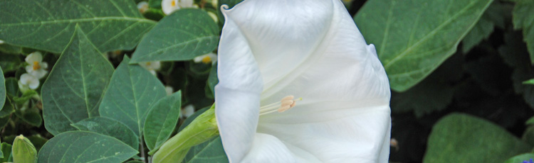 Several-Different-Plants-Go-By-the-Name-Angels-Trumpet-THUMB.jpg