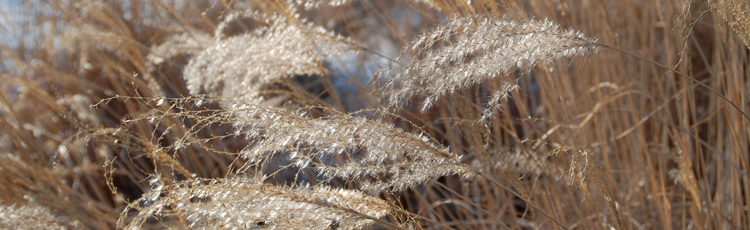 100716_Fall_and_Winter_Care_for_Ornamental_Grasses.jpg