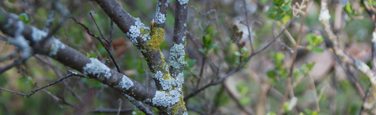 052715_Flaky_Growths_Lichens_on_Trees_and_Shrubs.jpg