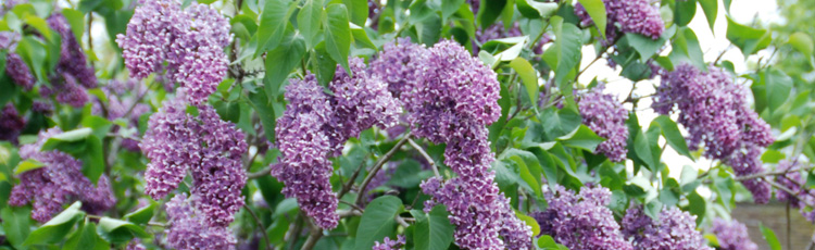 Coaxing-Transplanted-Lilac-to-Bloom-THUMB.jpg