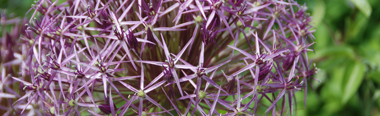 020116_2016_Year_of_the_Allium.jpg