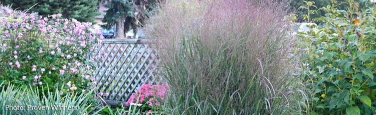 072516_Native_Switchgrasses_Panicum_for_Any_Landscape.jpg