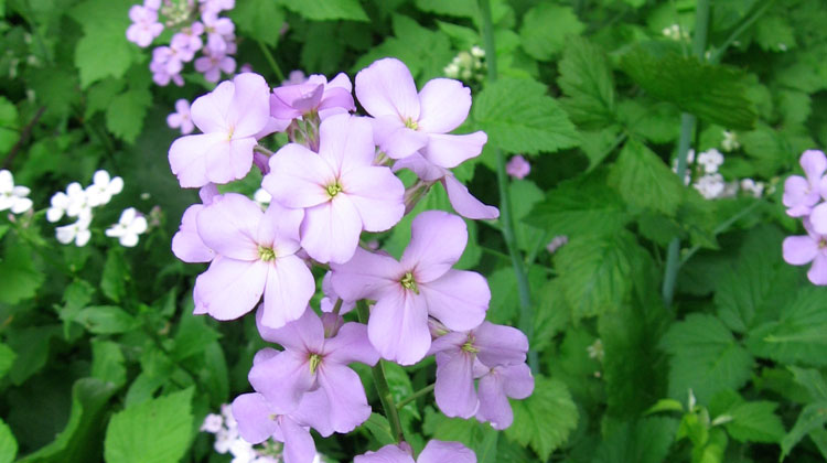 Purple And White Roadside Flowers Are They Phlox Melinda Myers