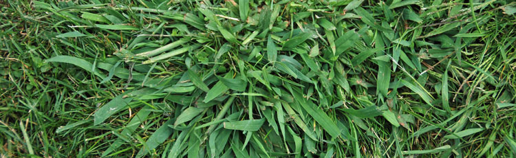 Crabgrass-in-the-Lawn.jpg