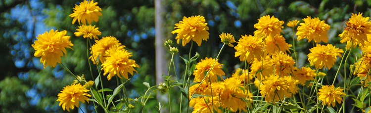 091117_Brighten_the_Landscape_with_Rudbeckias.jpg