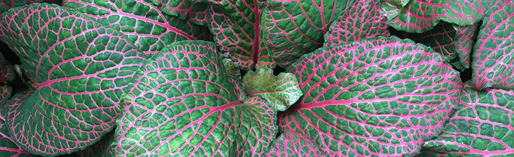 072220_Growing_Fittonia_Indoors.jpg