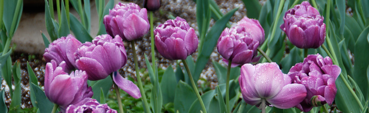 No-Flowers-on-Tulip-Plants-THUMB.jpg
