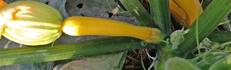 Keep-Your-Zucchini-Plant-Producing-THUMB.jpg
