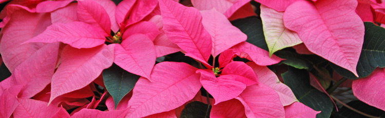 Pruning-Poinsettia.jpg