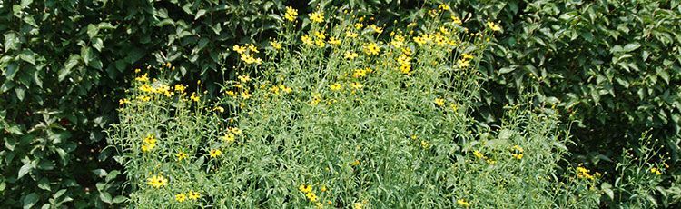081220_Grow_Native_Tall_Tickseed.jpg