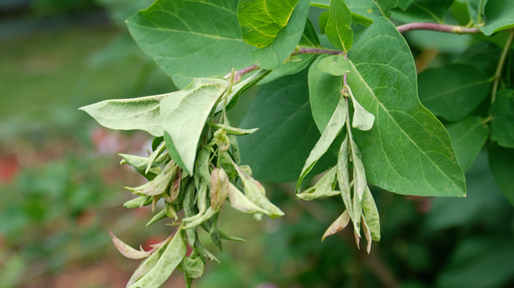 Brown-and-Curled-Leaves-on-Honeysuckle.jpg