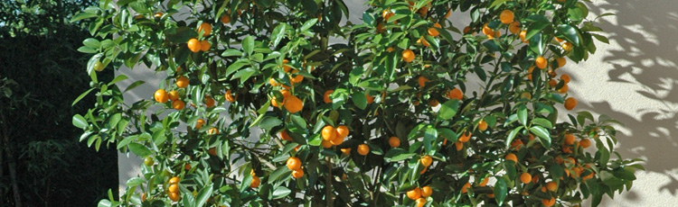 Growing-an-Orange-Tree-Indoors-THUMB.jpg