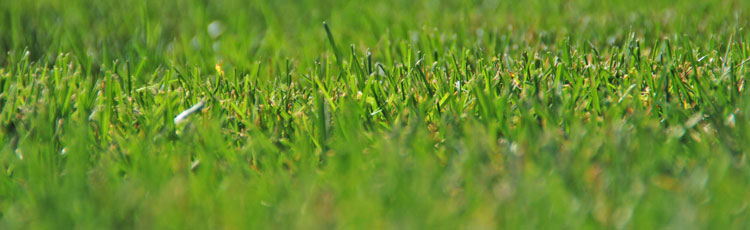 Quackgrass-in-the-Lawn.jpg