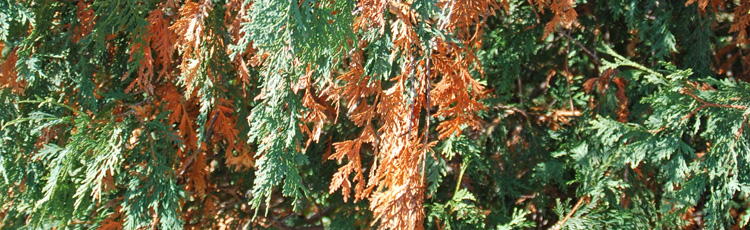 Inner-Needles-of-Arborvitae-Turning-Brown-THUMB.jpg