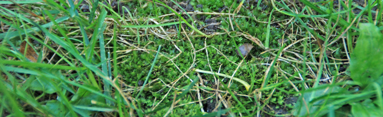 Lawn-is-Filled-with-Moss-THUMB.jpg