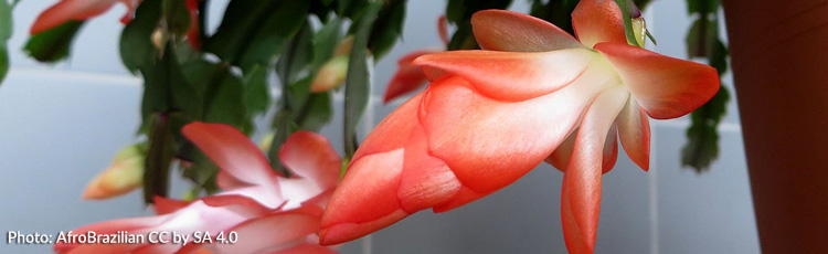 Getting-Your-Christmas-Cactus-to-Rebloom.jpg