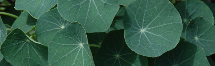 Lack-of-Flowers-on-Nasturtium-THUMB.jpg