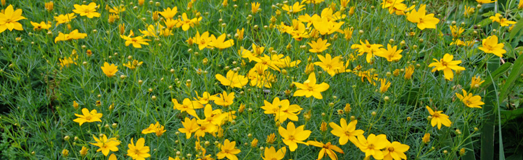 011415_Threadleaf_Coreopsis.jpg