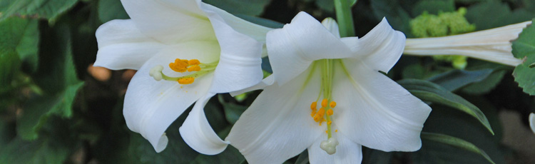 Will-Easter-Lily-Survive-in-the-Garden-THUMB.jpg