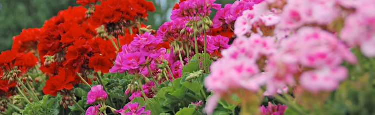 Caring-for-Geraniums-Over-Winter---THUMB.jpg
