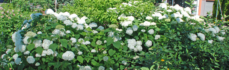 Hydrangeas-Selection-Planting--Care-thumb.jpg