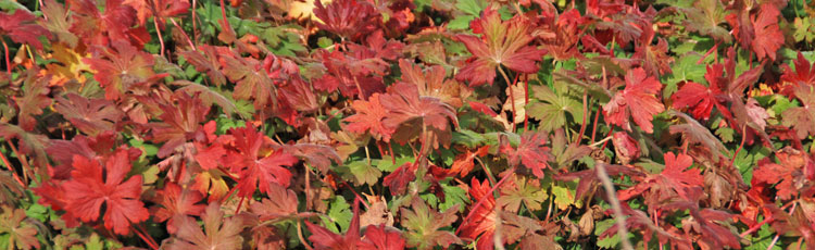 102418_Perennials_for_Colorful_Fall_Foliage.jpg