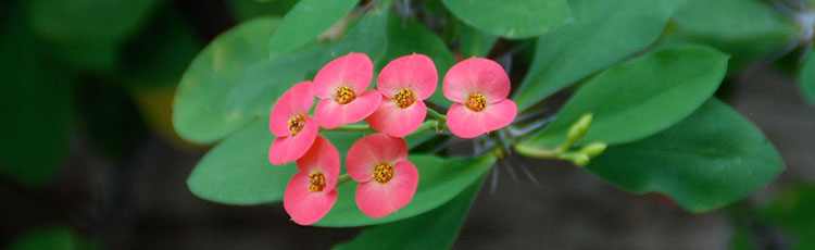 062920_Growing_Crown_of_Thorns_Euphorbia_milii-THUMB.jpg