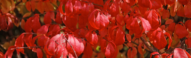 Burning-Bush-is-a-Wildlife-Favorite---THUMB.jpg